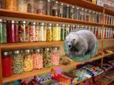 Black Bear Robs Sweet Shop